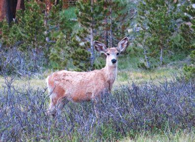 495 Deer at Evolution Valley