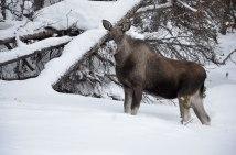 moose-stora-sjofallet